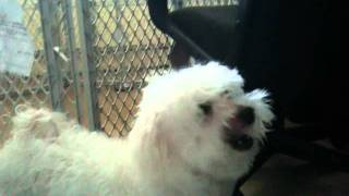 Maltese Dog's Incessant Sneezing
