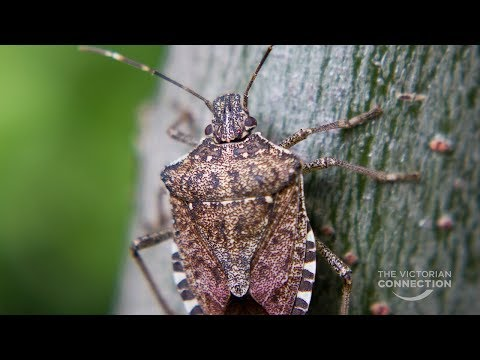 Watching out for the Brown Marmorated Stink Bug