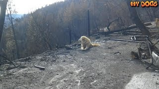 Loyal Dog Waiting & Guarding Weeks at The Site Of Burned Down Camp Fire Home For Family To Return