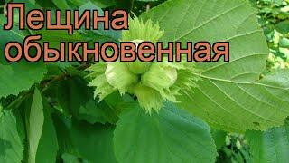 видео Лещина или орешник Corylus avelana