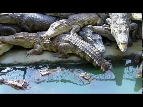 Trang trại trăn cá sấu - Python and crocodile farm