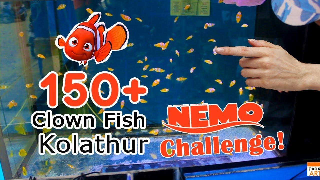 finding nemo world in chennai clown fish in kolathur marine fish