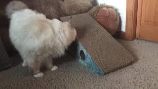 Ragdoll cat - Кошка рэгдолл и когтеточки - нет особого успеха!