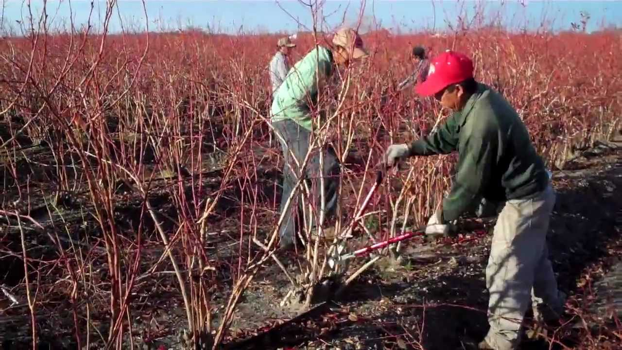 How To Prune Blueberry Bushes With Dimeo Blueberry Farms