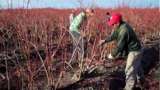 How to Prune Mature Blueberry Bushes