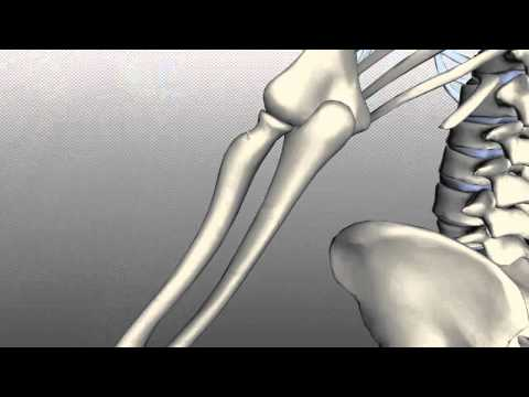 Radius and Ulna - Anatomy Tutorial