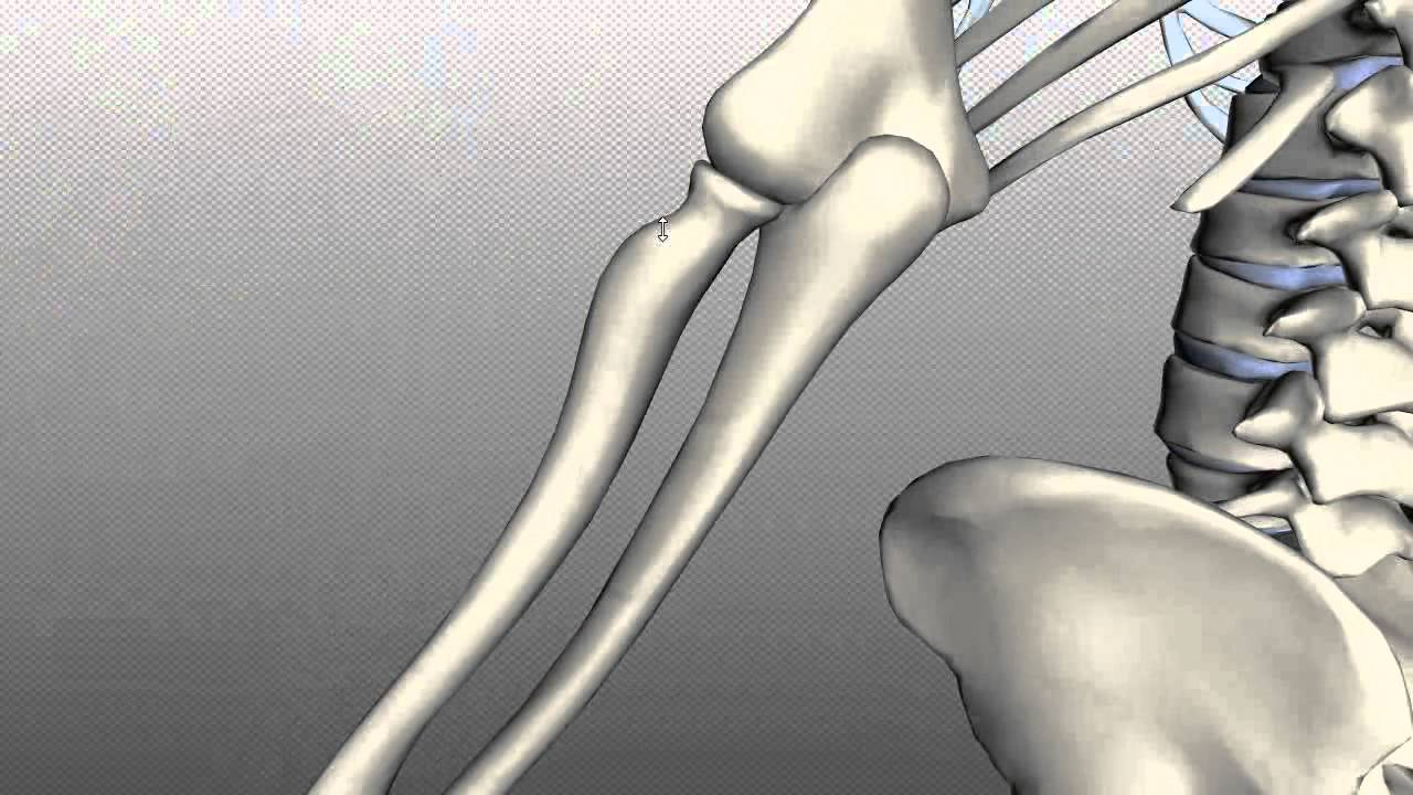 Radius And Ulna Anatomy Tutorial Youtube