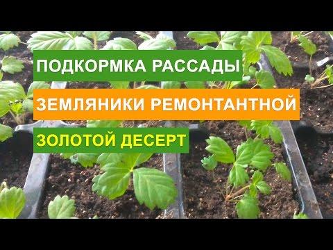 Земляника ремонтантная - Выращивание из семян и уход. Чем подкармливать рассаду земляники