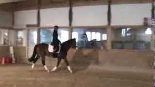 D.B. Cooper--15.2h Clydesdale/TB Cross Dressage/Event Prospect (Trot Work)