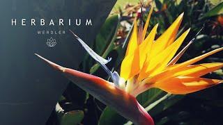 Strelitzia reginae - (Bird of paradise)