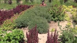 Ива пурпурная Нана. Ива шаровидная. Посадочный материал собственного производства.(Добрый день! Мы занимаемся выращиванием и продажей растений для ландшафтного дизайна. В ассортименте собст..., 2014-07-02T10:45:14.000Z)