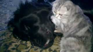 кошачий массаж большой черной собаке