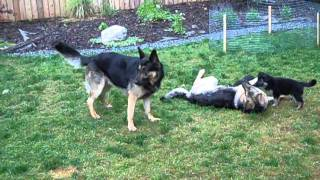 German Shepherd Family Playing
