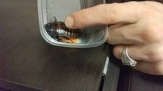 Как шипит мадагаскарский таракан