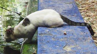 МАРОККАНСКАЯ КОШКА пьет MOROCCAN CAT drinks