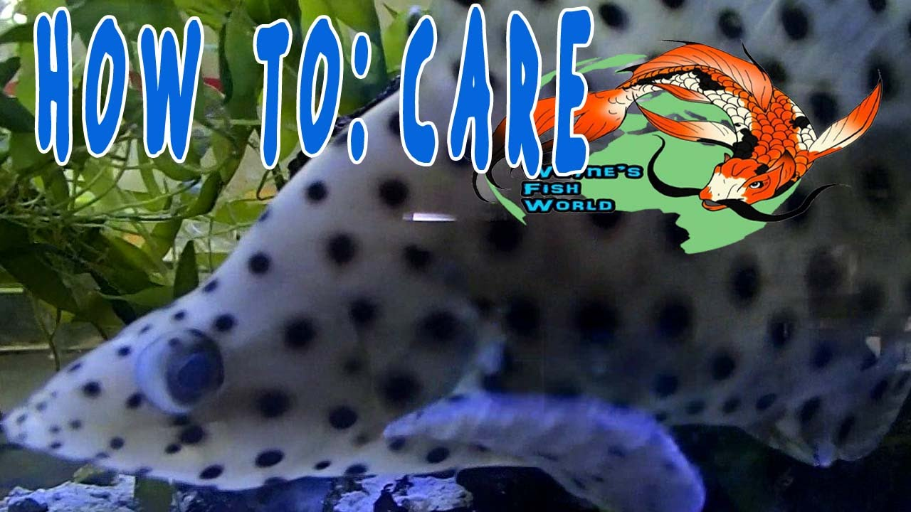 Panther Grouper | How To Care Panther Grouper Youtube