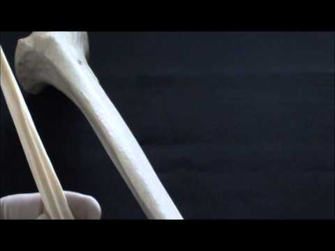 Human Anatomy video: The fibula