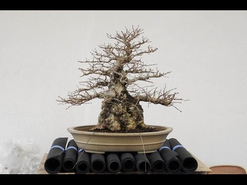 Rescue A Dying Bonsai Tree Youtube