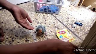 How to feed ringneck baby parrot (free)