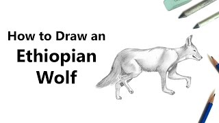 How to Draw an Ethiopian Wolf with Pencils [Time Lapse]