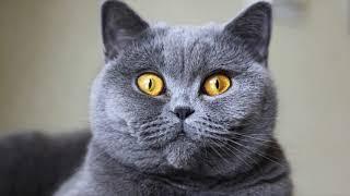 British shorthair cat | Top Cat Breeds