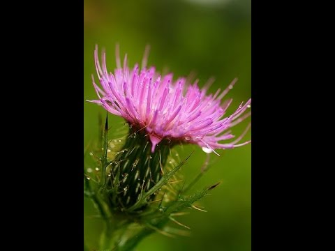 Analysing Thistles by Ted Hughes