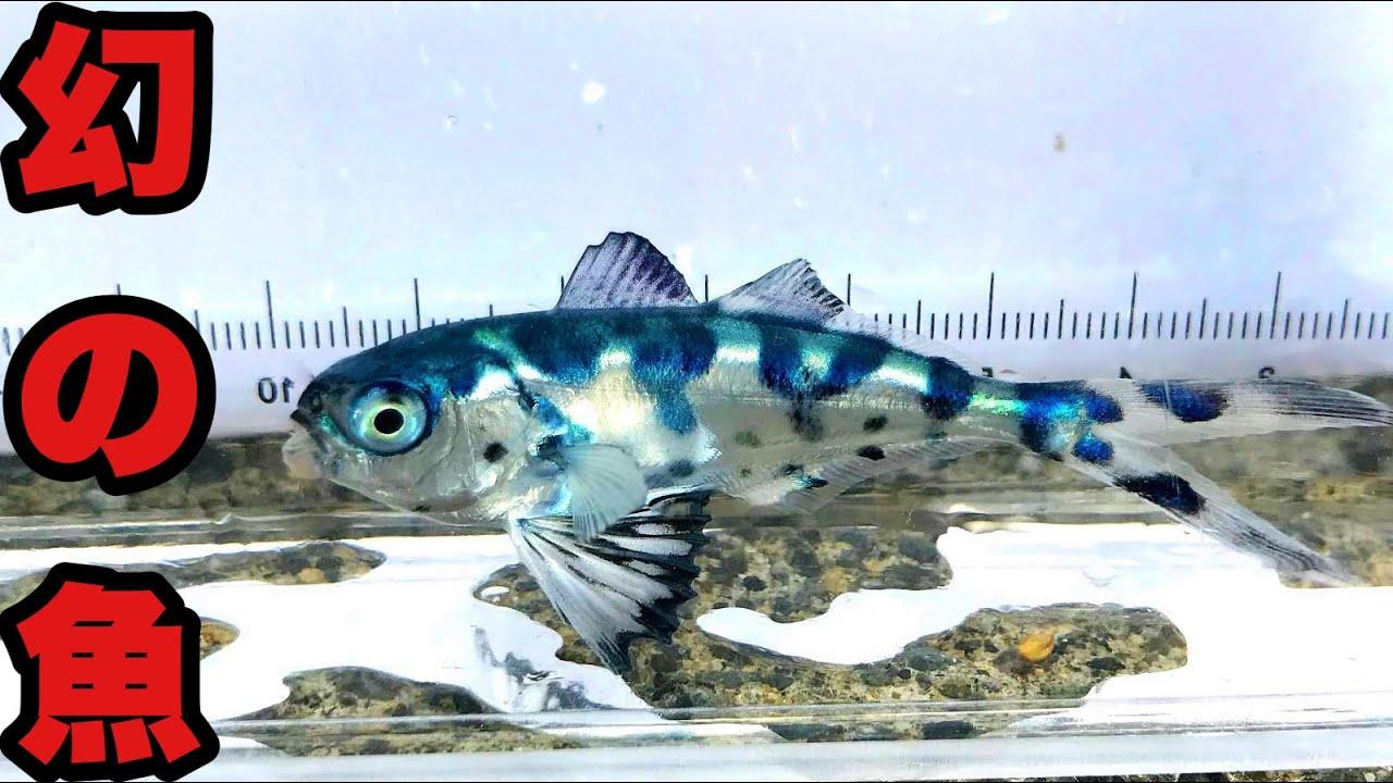 猛毒クラゲに隠れる幻の海水魚と奇跡の遭遇??
