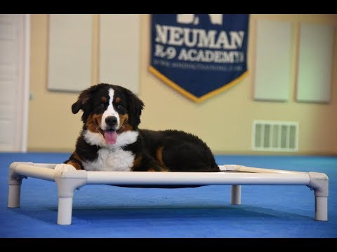 Vinny (Bernese Mountain Dog) Puppy Camp Dog Training Video Demonstration