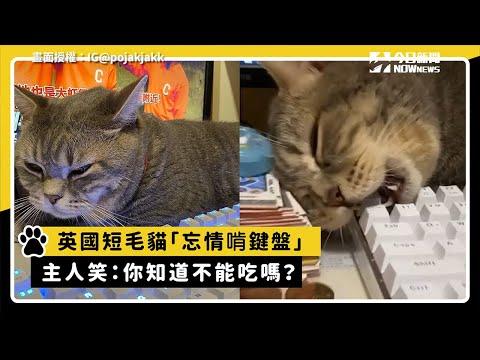 英國短毛貓「忘情啃鍵盤」 主人笑:你知道不能吃嗎?