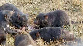 Tasmanian Devils and Thylacines are Close Relatives