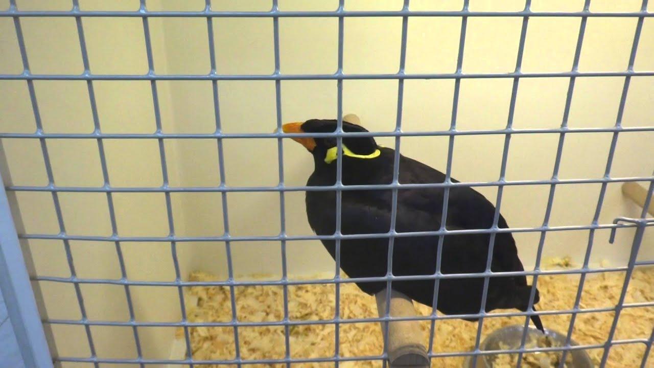 Скачать видео про птицу священная майна фото 93-114