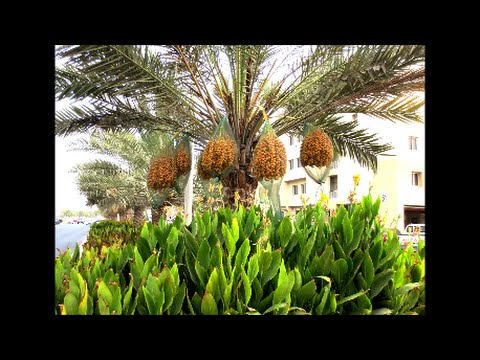 Date Palm Tree Dubai Youtube