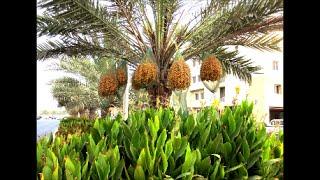 Date Palm Tree - Dubai