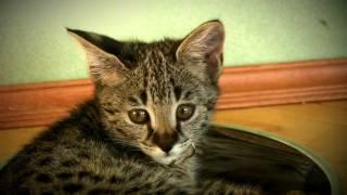 Котенок Саванна F1 (мама Британская голубая кошка, папа Сервал)