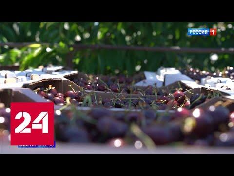 В Крыму созрел первый урожай черешни - Россия 24