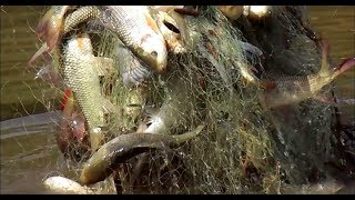 Net Fishing in Village Pond | Catching Fish with Net | Best Fishing Video