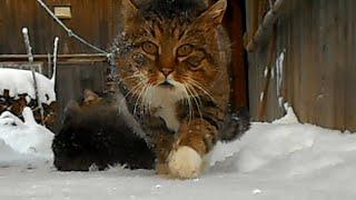 Коты спорят из-за кошки. [Драка котов]