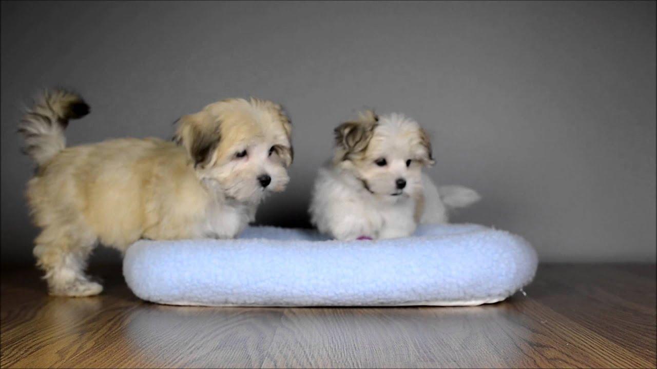 Morkies Playing At Just Puppies Orlando Youtube