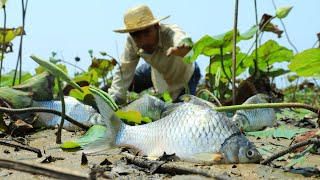 Very Lucky Fishing Found Catch Many Carp Fish Climbing Perch in Lotus Field When Water Recede