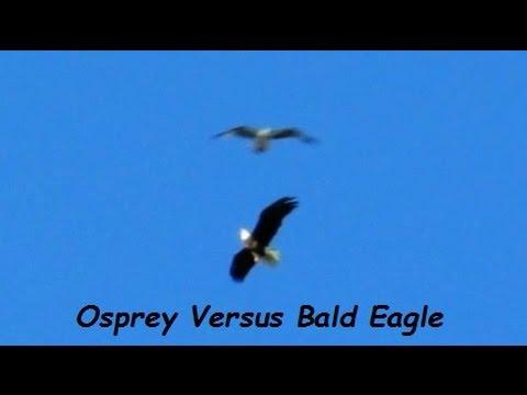 Osprey Attacks Bald Eagle