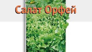Салат обыкновенный Орфей Полукочанный (orfey) 🌿 обзор: как сажать, семена салата Орфей Полукочанный