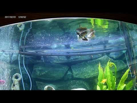 African Butterfly Fish Mating Dance