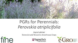 PGRs on Perennials: Perovskia atriplicifolia