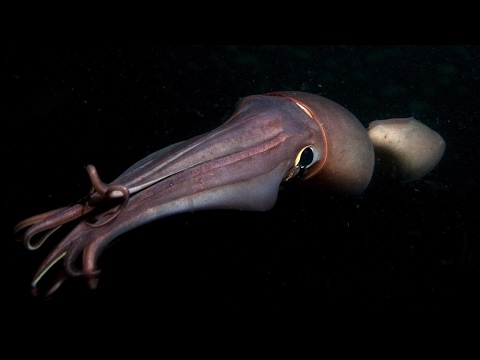 Intolerable. Real giant squid