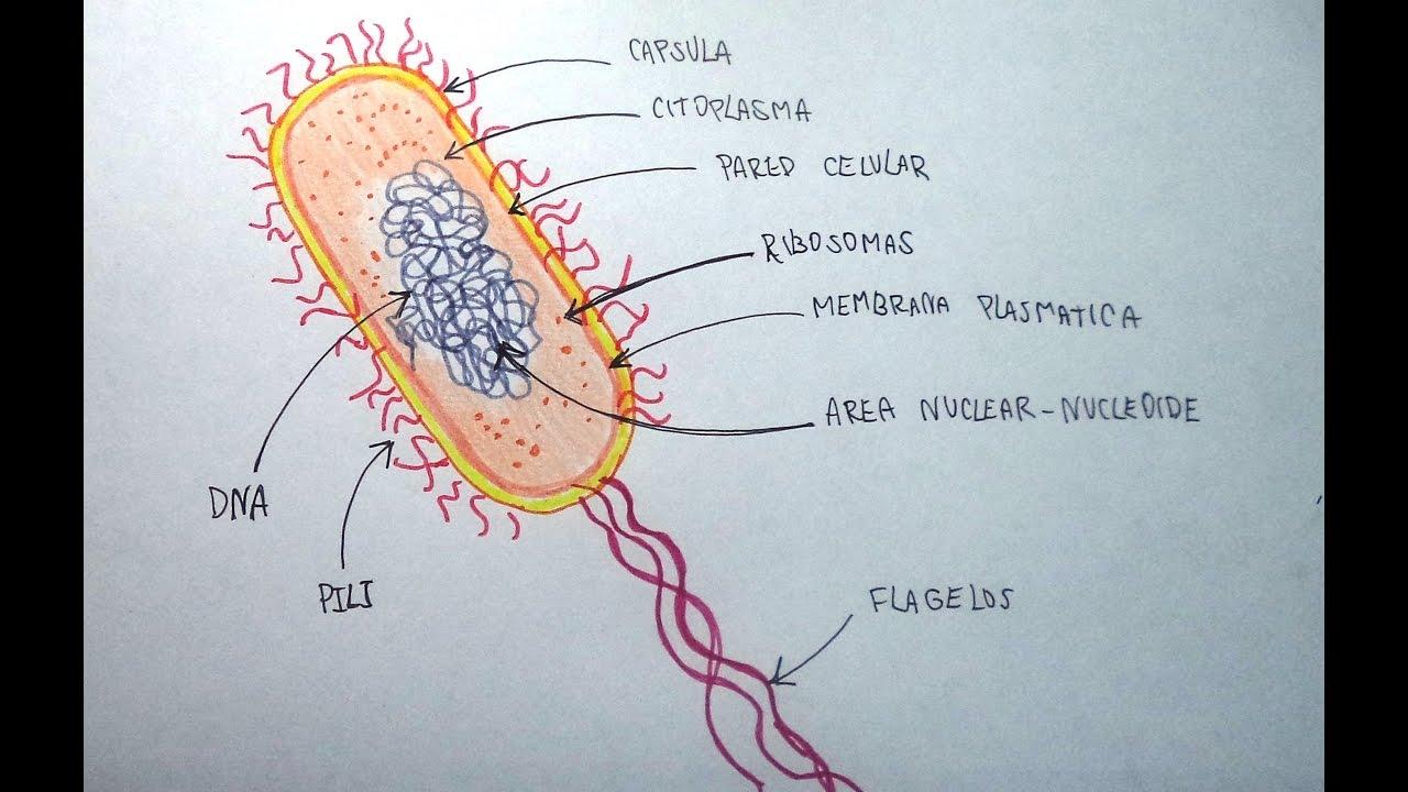 Ciencias Naturales 45 Aprende A Dibujar Una Bacteria Y Sus Partes