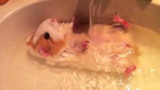 купание морской свинки