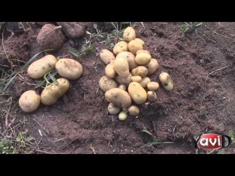 Картошка в мешках   3 месяца распотрошил один мешок