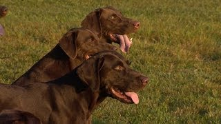 Wild Sidetv-gun Dog Training