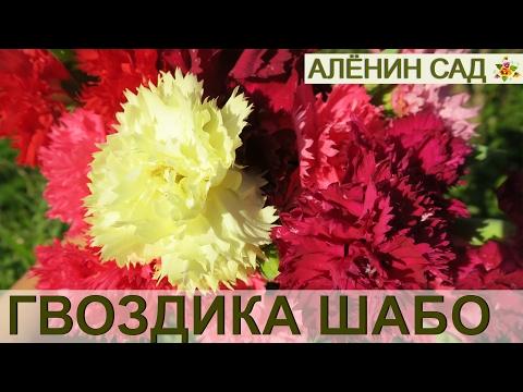 ГВОЗДИКА Шабо. 2. Высадка и ЦВЕТЕНИЕ // Carnation. 2. Planting and flowering