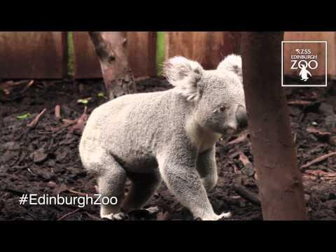 Koala Territory at RZSS Edinburgh Zoo